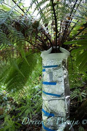 Dicksonia antarctica - Pat wrapping fern for winter_7024B