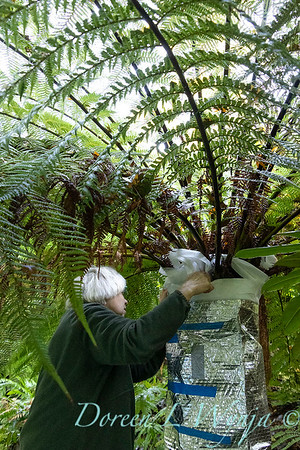 Dicksonia antarctica - Pat wrapping fern for winter_7109
