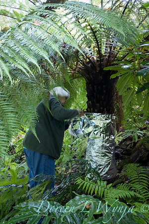 Dicksonia antarctica - Pat wrapping fern for winter_7009