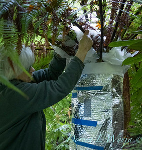 Dicksonia antarctica - Pat wrapping fern for winter_7027