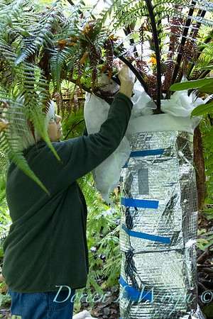 Dicksonia antarctica - Pat wrapping fern for winter_7110