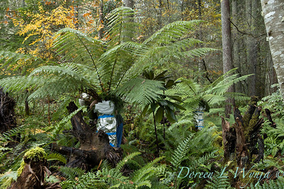 Dicksonia antarctica - Pat wrapping fern for winter_7045