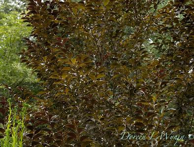 Styrax japonicus 'Evening Light' _393