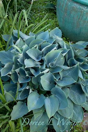 Hosta blue_1540