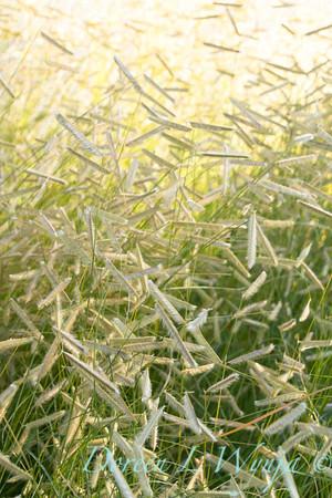 Bouteloua gracilis Blonde Ambition_048