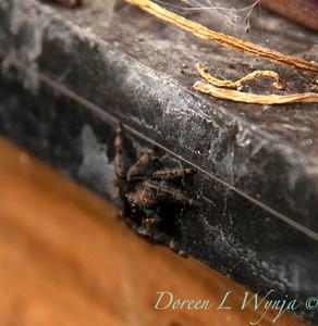 Evarcha arcuata spider_001