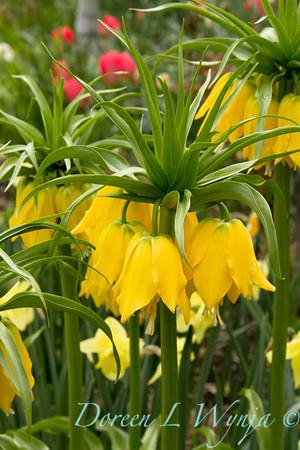 Fritillaria imperialis Lutea_004