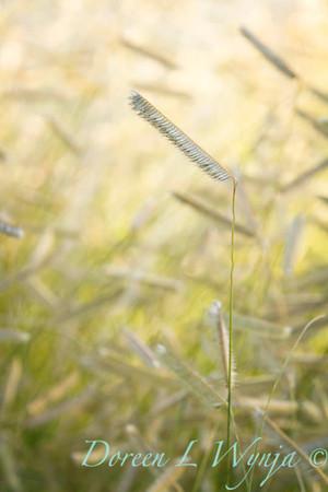 Bouteloua gracilis Blonde Ambition_046