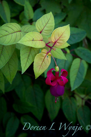 Fuchsia_643