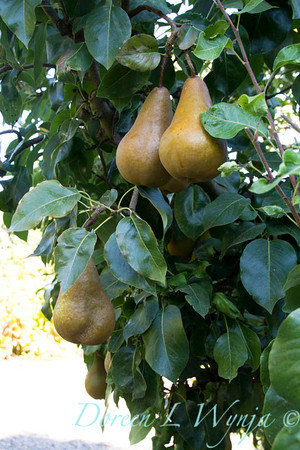 Bosc pear_626