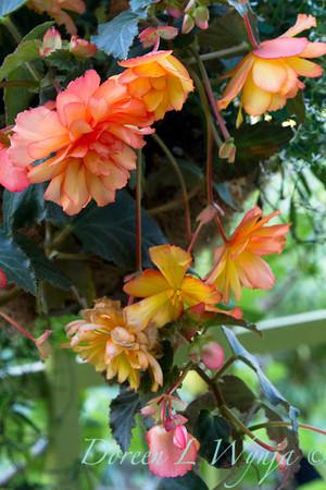 Begonia_637