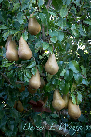 Bosc pear_632