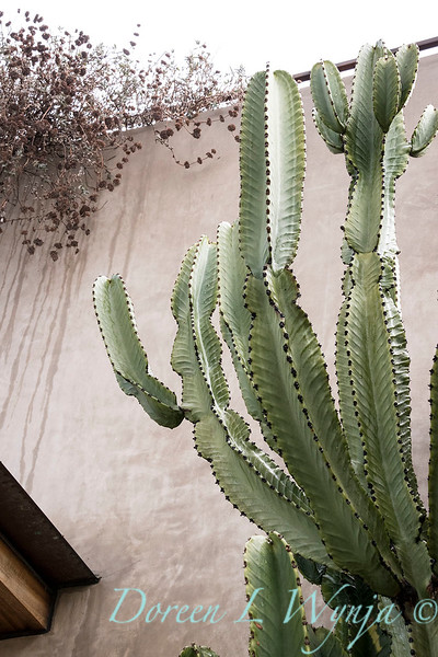 Euphorbia ammak variegata_6517