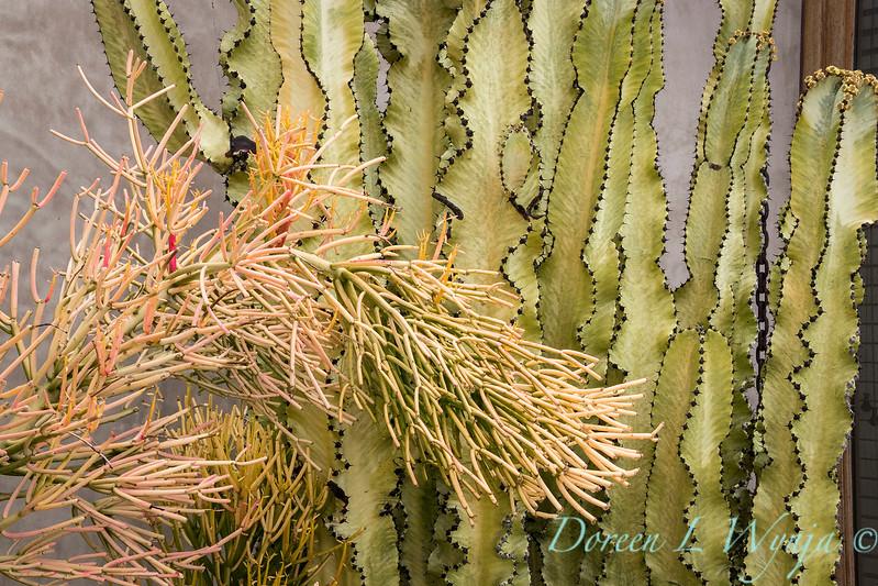 Euphorbia tirucalli 'Sticks on Fire' - E  ammak variegata_6528