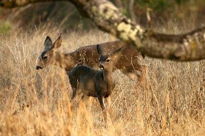Deer at Rancho San Antonio OSP