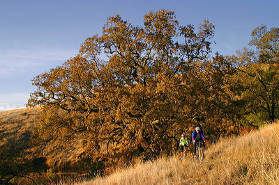 Cyclists passing oaks at Monte Bello OSP (Photo by Karl Gohl)