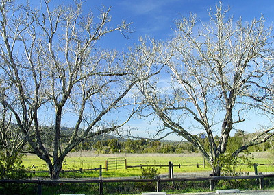 Twin Trees at Windy Hill OSP (Photo by Karl Gohl)