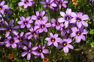 Blue-eyed grass (Photo by Karl Gohl)