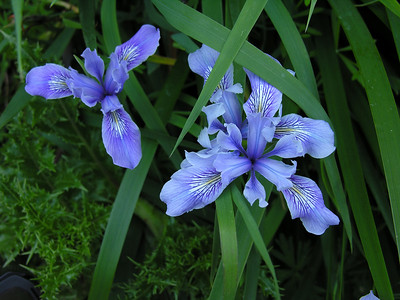 Wild Irises at Thornewood (Photo by Deane Little)