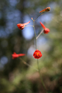Red Larkspur (Photo by Erica Simmons)