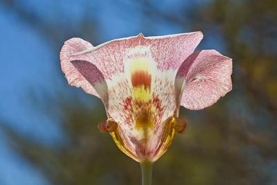 Mariposa Lily at Rancho San Antonio OSP