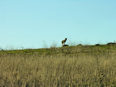 Perched Coyote at Russian Ridge (Photo by Dean Little)
