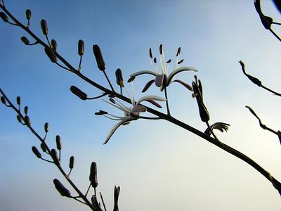 Soap Plant Flower