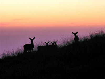 FSCN7106 Deer at dusk