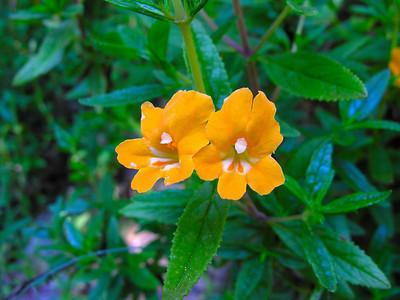 Sticky Monkey Flower