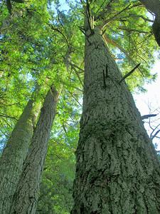 FSCN1146  Big trees, Mindego