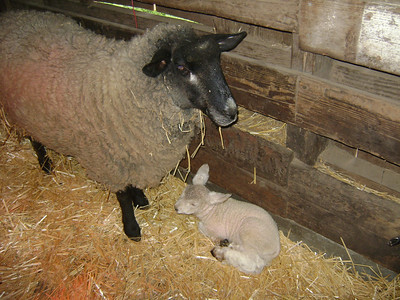 Babies abound at the farm! Another ewe is expecting in a couple of weeks. Plus, two goats are expecting the end of April. Get in on the action at Deer Hollow Farm.  Deer Hollow Farm Rancho San Antonio OSP  Photo Credit: J. Villerreal March 2013