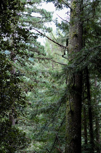The scent of trees in the rain (at Purisima Creek Redwoods OSP). December 16, 2012