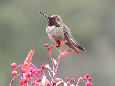 C Schell - Hummer at Sierra Azul - Sierra Azul OSP Category: Wildlife