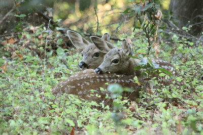 S Ryder - Twin fawns in the forest - Rancho San Antonio OSP Category: Wildlife