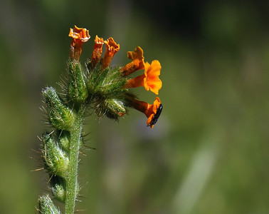 K Lunder - Fiddleneck - Rancho San Antonio OSP Category: Plant LIfe