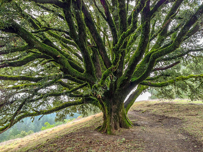J Petolino - Ancient Oak - Russian Ridge OSP Category: Plant Life