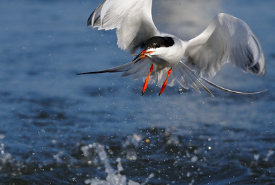 B Murasashi - Feeding Tern - Stevens Creek Shoreline Category: Wildlife
