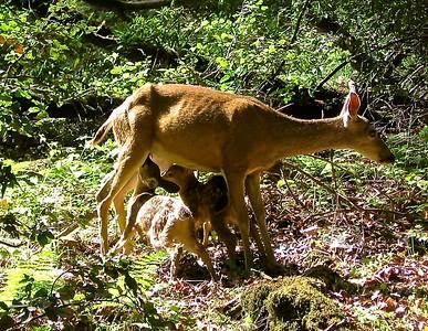 Mother Deer Nursing Two Fawns
