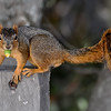 Eastern Fox Squirrel with Acorn
