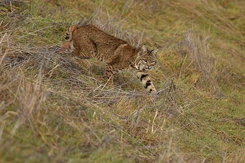 A Bobcat heads toward the Woods