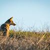 Mama Coyote Watching Day Break