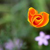 California Poppy Love