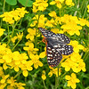 Checkerspot Resting on Yellow Sand Verbena