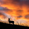 Deer in red sky