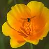 California Poppy with Fly