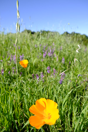 California poppies in a field.