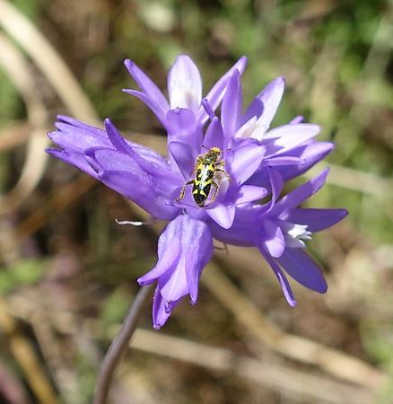 Beetle on Blue Dicks