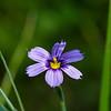 Purple Sisyrinchium