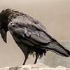 Shy Crow