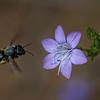 Bee flying to California Gilia